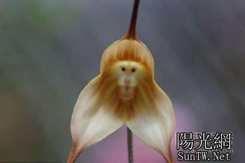 像猴臉的蘭花——小龍蘭--陽光網