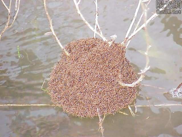 蟻球創造的奇跡—螞蟻的團隊力量--陽光網