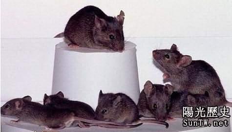 驚!日本驚現581一模一樣老鼠
