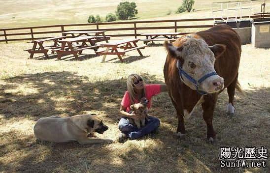 奶牛把狗認作同類 對吃草無興趣!