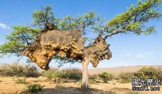 世界最大鳥巢壓垮樹幹:重量竟達1噸