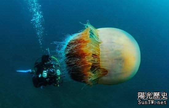 全球巨型生物:最大水母直徑可達3米
