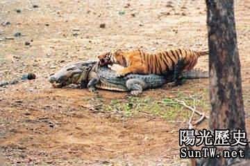 蟒蛇生吞巨鱷!動物獵殺令人歎為觀止
