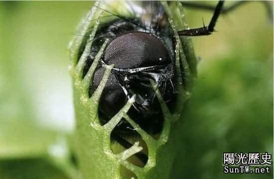 食肉植物捕捉的小昆蟲