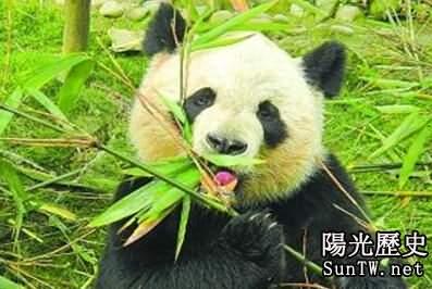 300萬年前的大熊貓食肉 現在為何食竹
